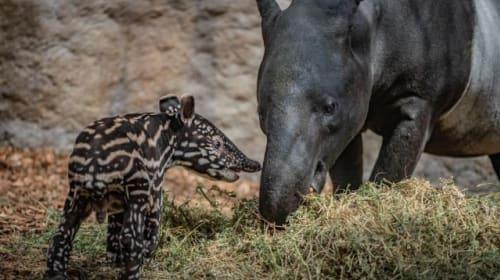 'Precious' endangered baby tapir born at Chester Zoo