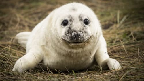 Grey seals arrive at Lincolnshire beach with newborn pups