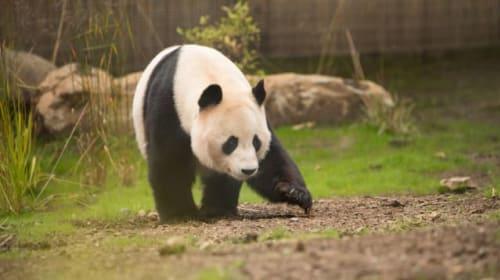 Giant panda shocked by electric fence at Edinburgh Zoo