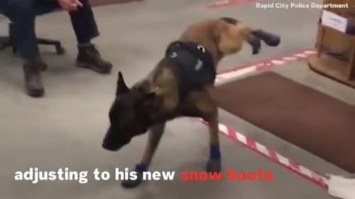 米サウスダコタの警察犬、初めてのブーツに挑戦するも…【映像】
