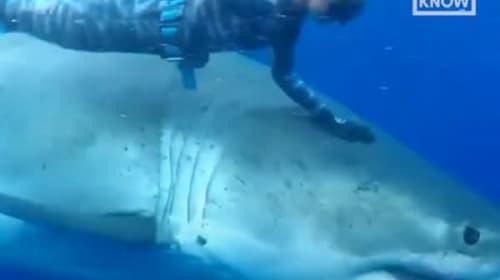 ダイバーが巨大なホホジロザメと一緒に泳ぐ映像が話題に