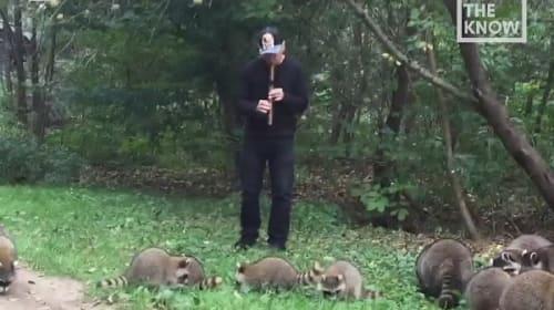 男性の笛の音色に誘われて集まるアライグマたち【映像】