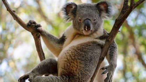 セクシー過ぎると話題のコアラがこちら