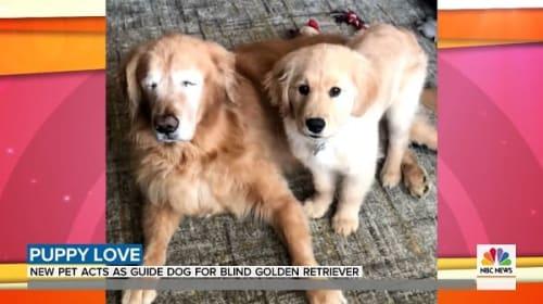 新たに家族に迎え入れたゴールデンレトリーバーが、盲目の老犬の「盲導犬」役に