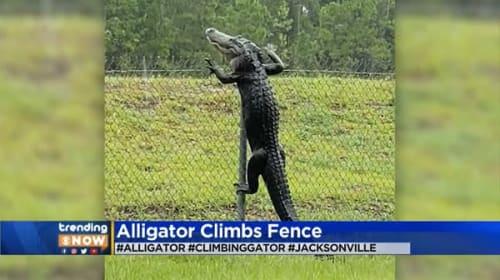 米国で器用にフェンスをよじ登るワニが目撃され話題に