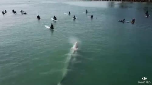 驚きの光景!大きなコククジラが波を待つサーファーたちに忍び寄る【映像】