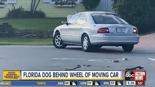 犬が、何と一時間以上もの間車を運転し続ける【映像】