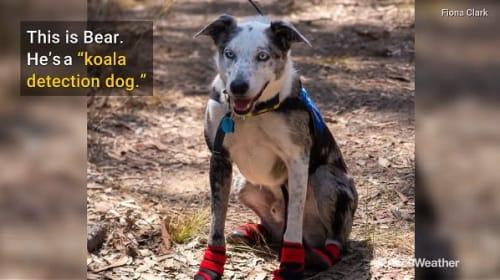 オーストラリアの森林火災で活躍する「コアラ探知犬」