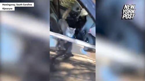 窓を開けて駐車した結果・・・車の中で猫たちが大暴れ!【映像】