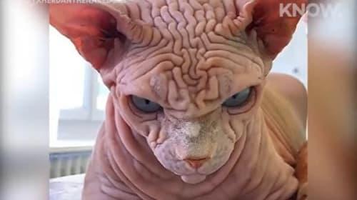 「怒っているみたいだけどかわいい!」と話題のしわだらけな猫がこちら