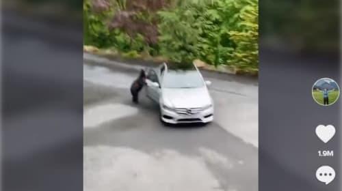 実は器用!?車のドアを開ける野生のクマ【映像】