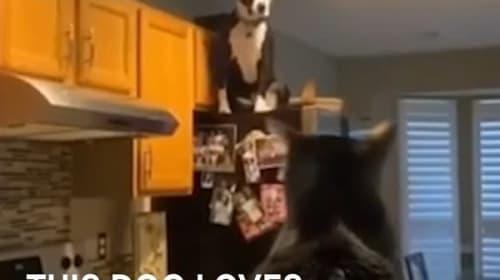 まるで猫のように、高い所に登ってしまう犬【映像】