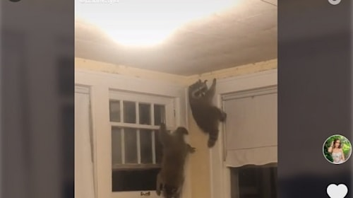寝室に野生のアライグマが侵入!【映像】