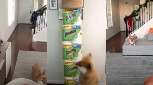 まさに天才!スゴ技シュートを決めるコーギー犬が話題に【映像】