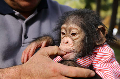 Baby chimpanzee rejected by his mother gets a second chance