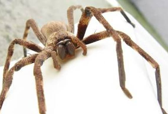 Woman discovers this ginormous huntsman spider in corner of her house