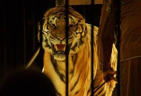 Performing circus tiger escapes during show with live audience
