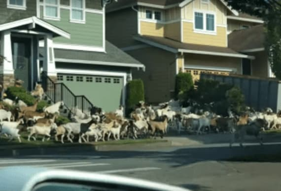 Neighbors flabbergasted when hundreds of goats stampede through their streets