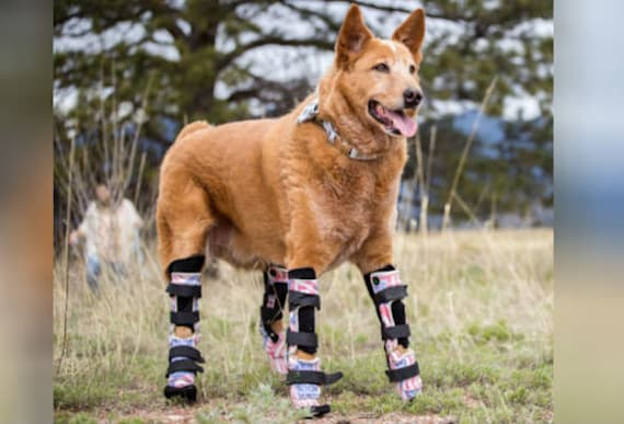'Bionic' Dog That Lost Four Legs Is Unlike Any Other Animal