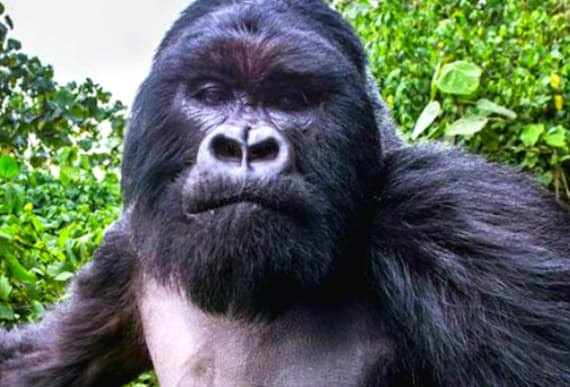 Recent Footage Of Wild Gorillas Captured By 'Spy' Robot Has Scientists Around The World In