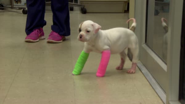 Pit Bulls and Parolees': Remember Blanche? Cute Puppy in