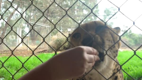 Zoo exhibit allows you to get up close and personal with cheetahs