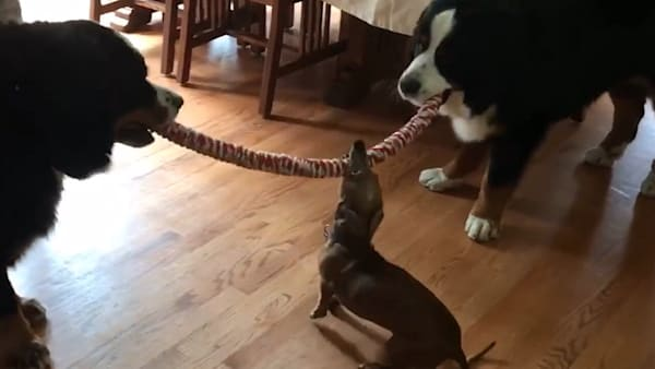 Tiny Puppy Wins Tug Of War Viral And Trending Aolcom