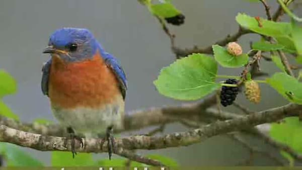How To Attract Bluebirds to Your Yard   AOL.com