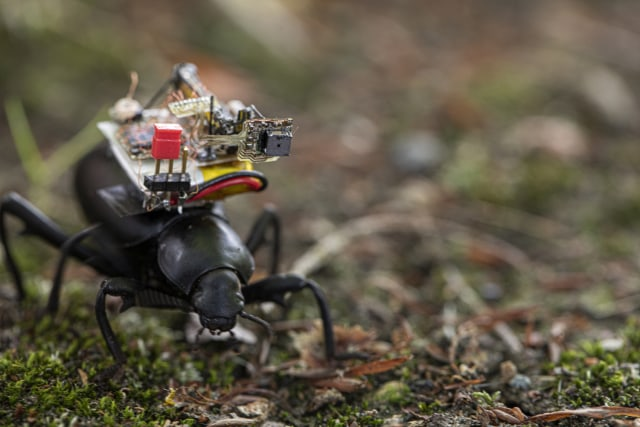 Caption: Researchers at the University of Washington have developed a tiny camera that can ride aboard an insect. Here a Pinacate beetle explores the UW campus with the camera on its back.