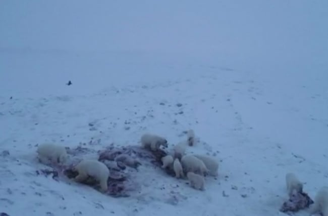 Polar bears feast on walrus carcasses in rare footage