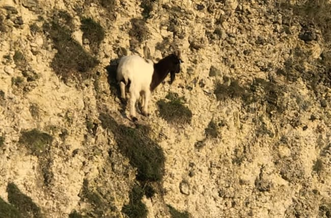 Hapless goat saved from tiny ledge 60ft up a cliff