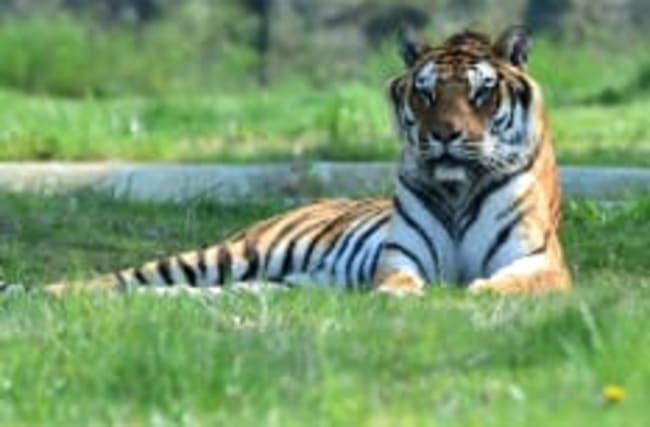 Tiger in New York hat sich mit Corona angesteckt