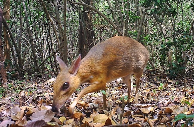 Miniature fanged 'deer' feared extinct spotted in Vietnam