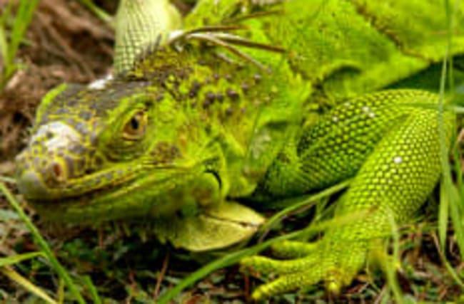 Warnung: In Florida können Leguane von Bäumen fallen