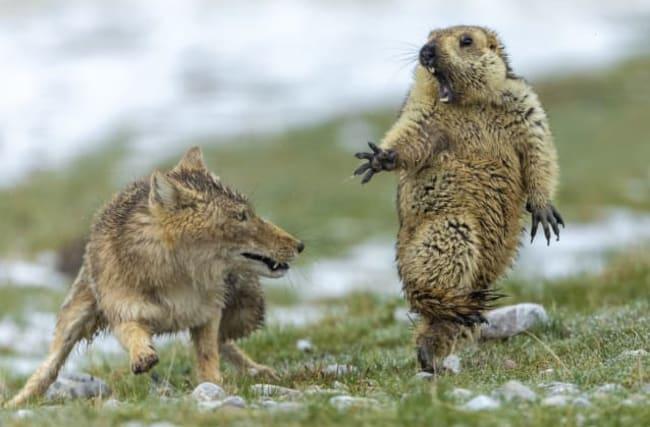 Pics: Standoff between fox and marmot wins top prize