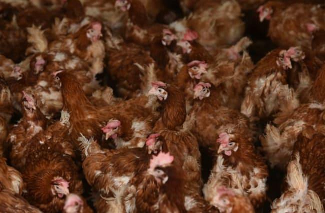 Bird flu found at Suffolk chicken farm