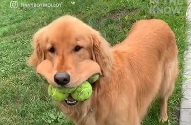 一度に6つのテニスボールを口に咥えるゴールデンレトリバーが話題に