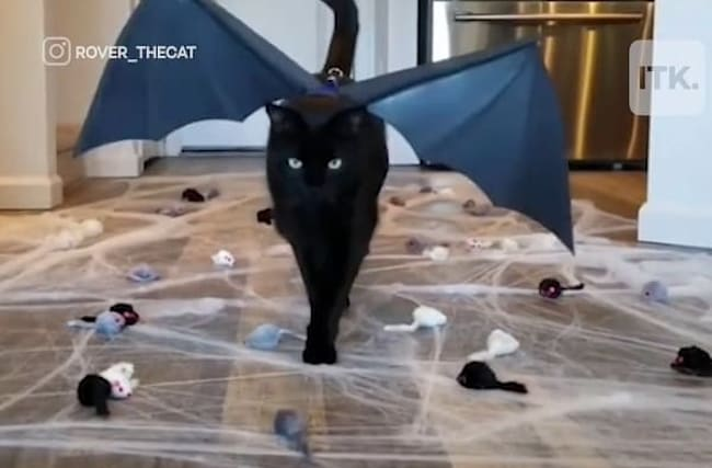 見事な「キャットウォーク」を披露する、おしゃれな黒猫がインスタグラムで話題に【映像】