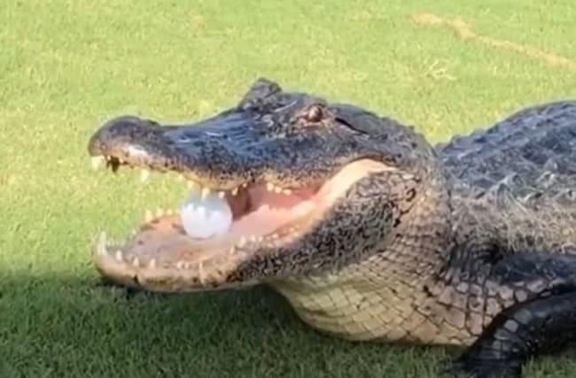 ボールをパクッ!アリゲーターがゴルフのプレーを妨害【映像】