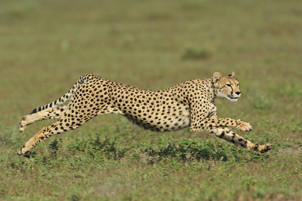 cheetah (Acinonyx jubatus) in the Serengeti National Park