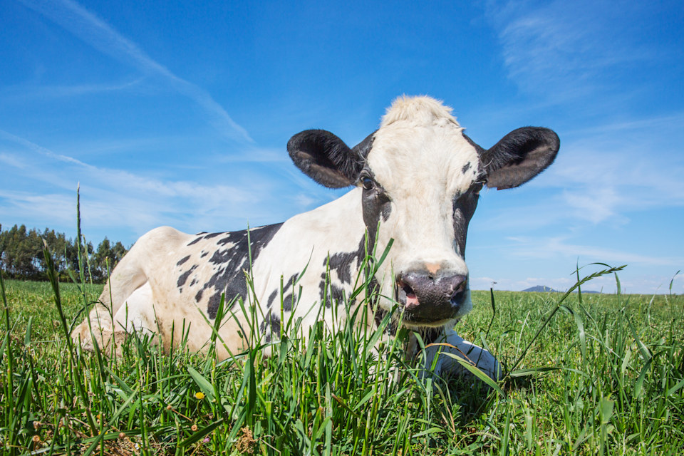 Portrait of dairy cow, Holstein breed Friesian.