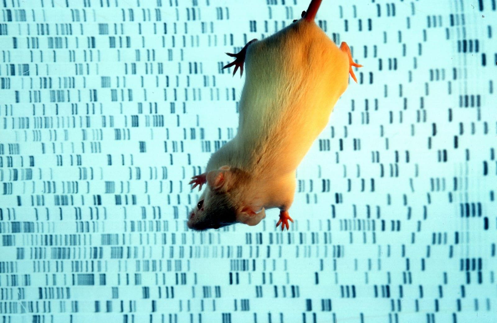 Germany, Munich - A transgenic mouse