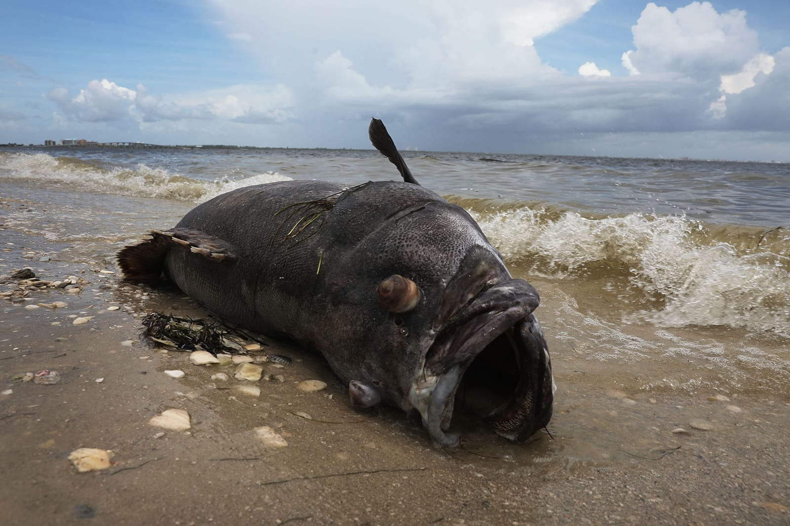 Toxic Red Tide On Florida's Southwest Coast Killing Hundreds Of Turtles And Fish