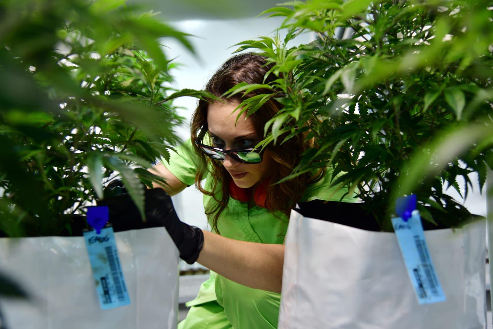 marijuana medpharm research