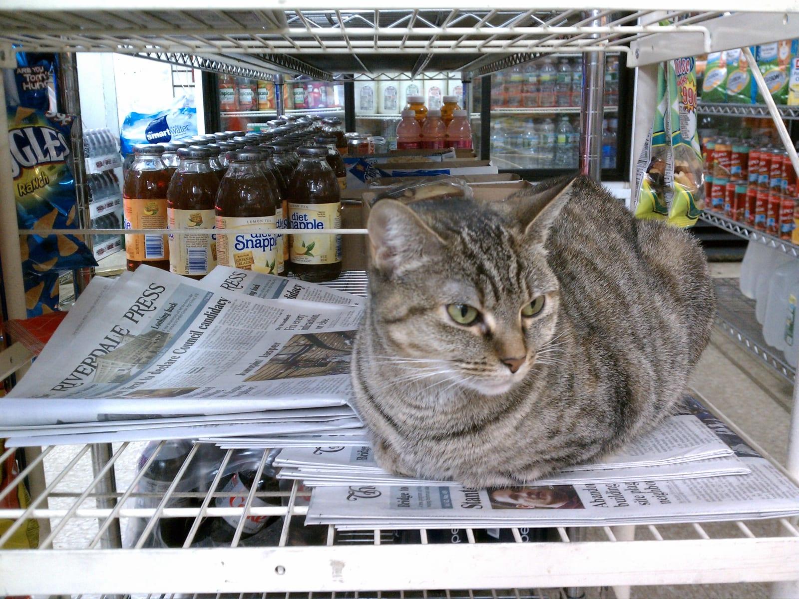 Bodega Cat - Paulina from Riverdale, NYC