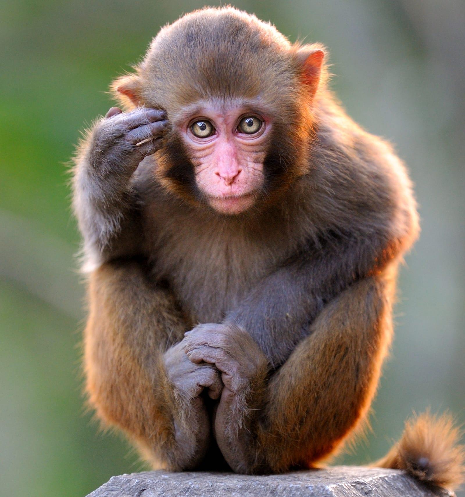 Thinking young monkey