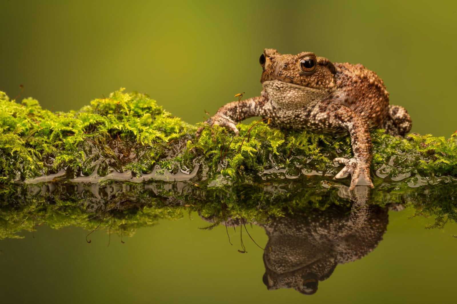 A wild common toad sitting on a mossy log