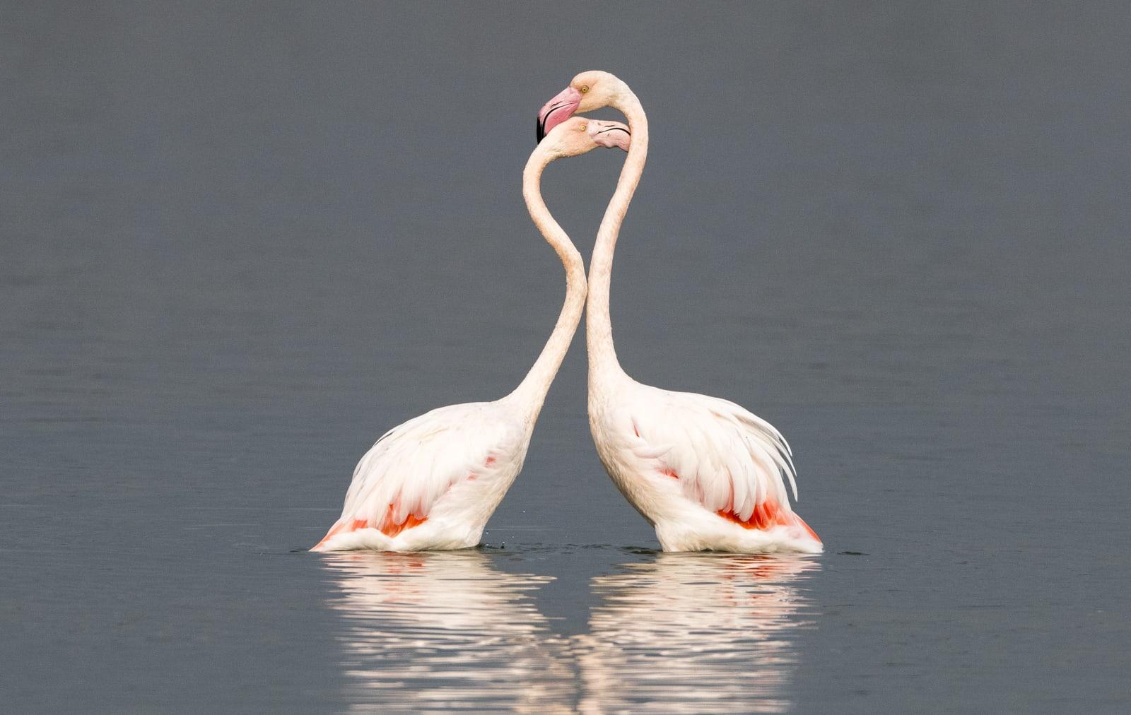 Greater flamingos interacting