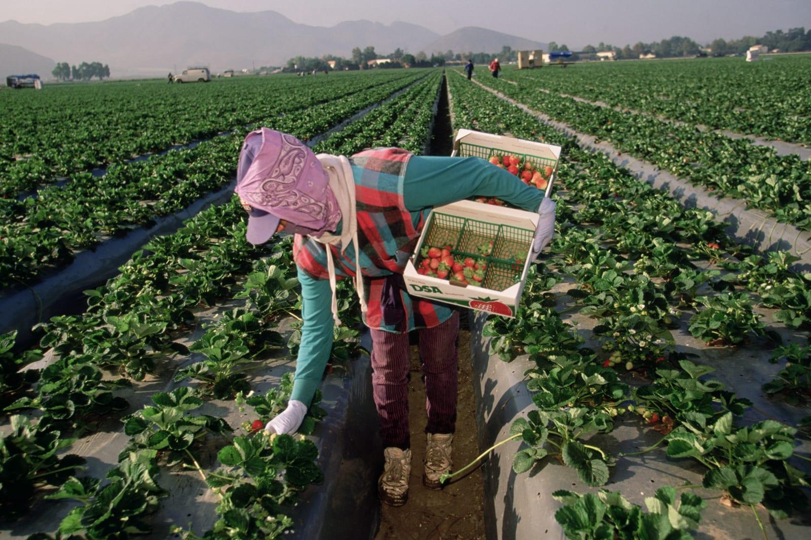 Migrant Worker Harvesting California Strawberries
